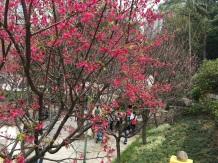 84 於二龍喉公園盛開之山櫻花