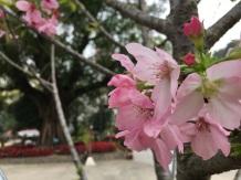 84 花瓣呈粉紅色的廣州櫻