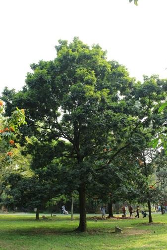 148 抗風樹種之一 - 海南紅豆