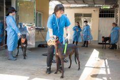 民署獸醫為格力犬進行檢查