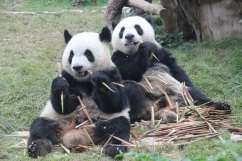 489 大熊貓健健康康