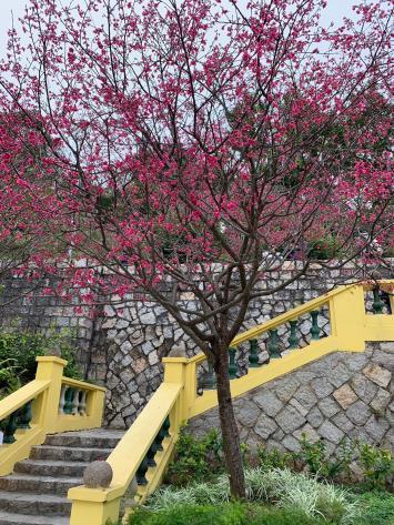 61 山櫻花