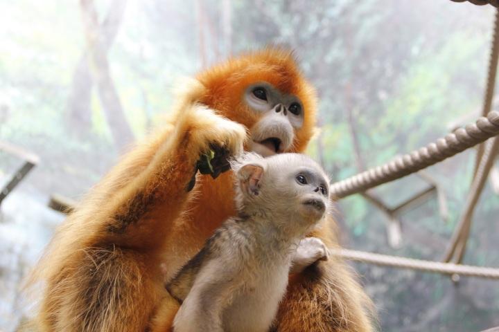 幼猴不時探頭四處張望,相當好奇