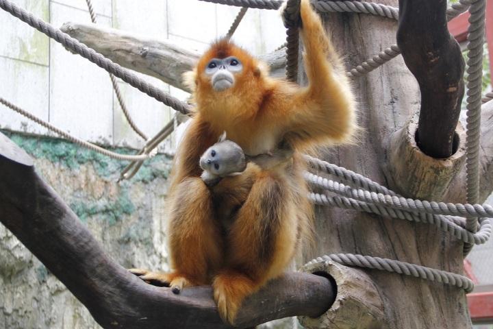 母猴將幼猴抱於懷中照料
