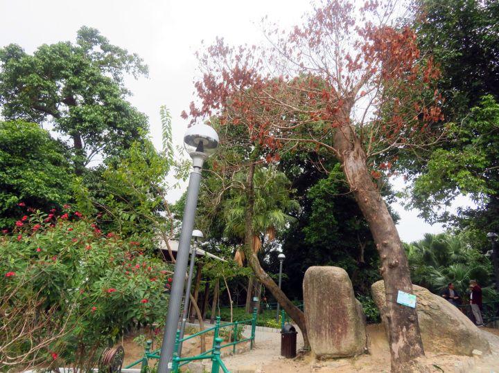 199 市政署移除白鴿巢公園一株枯萎樹木