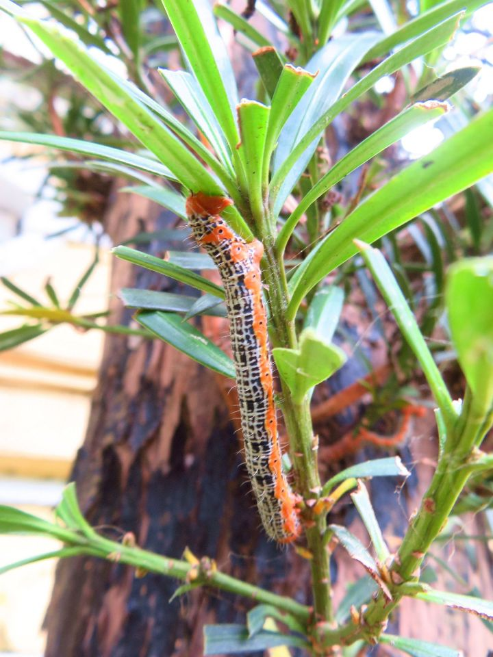 266 橙紋藍尺蛾幼蟲正啃食葉片