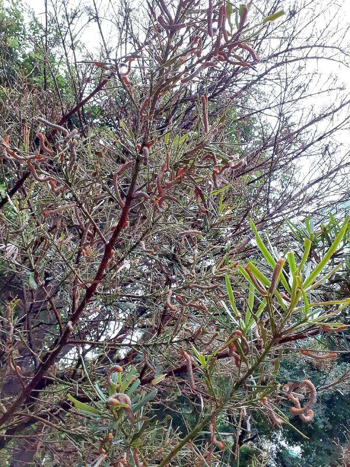 266 橙紋藍尺蛾成蟲幼蟲數量多且食量大嚴重威脅植物健康