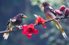 白翅藍鵲唱紅棉 - 陸平
