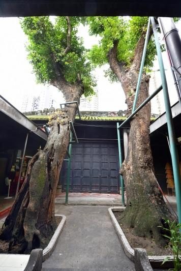 位於觀音古廟之古樹-海南蒲桃(左544, 右543)
