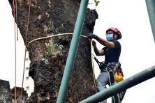 市政署人員對海南蒲桃古樹生長狀況進行評估