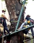 市政署人員為海南蒲桃古樹安裝監測儀器