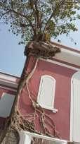 樹木倚傍葡式建築物共生